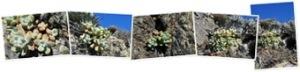 View Dudleya pachyphytum