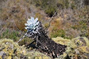 Dudleya anthonyi (s197)