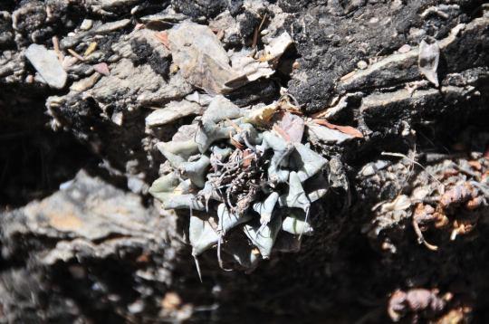 Turbinicarpus alonsoi, Xichu