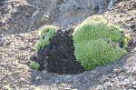 S1748 2010-03-16 Dudleya sp2