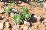S1752 2010-03-17 Dudleya albiflora