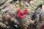 S1752 2010-03-17 Mammillaria Cochemie pondii2