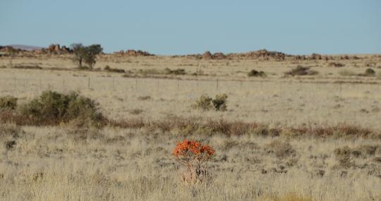S2599 - Aloe hereroensis