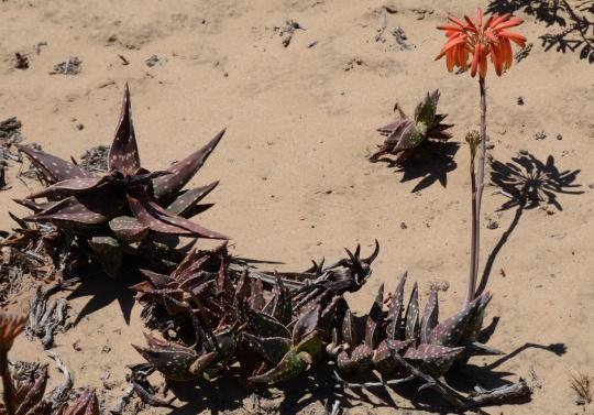 S2661 - Aloe arenicola