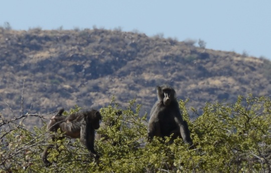 S2610 - baboons