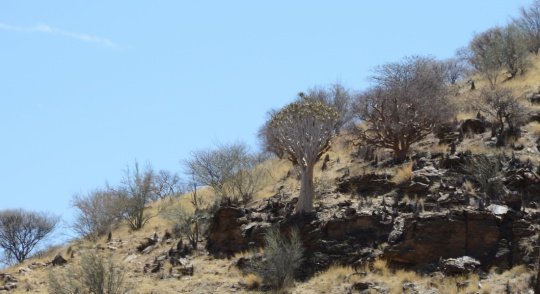 S2612 - Aloe dichotoma and the first Fat Trees