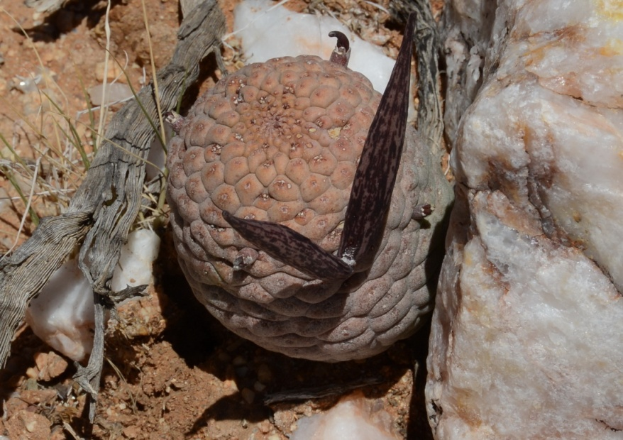 S2650 - Larryleachia cactiformis