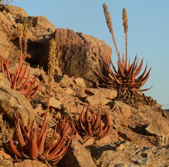 S2675 - Aloe garipensis