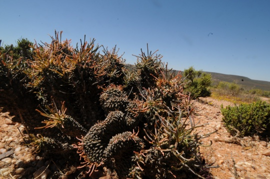 S2687 Euphorbia crest