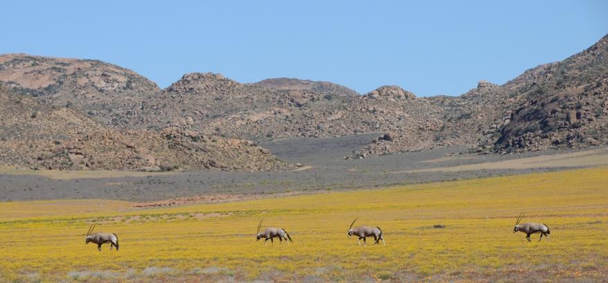 S2689 - Oryx at Goegap Nature Reserve