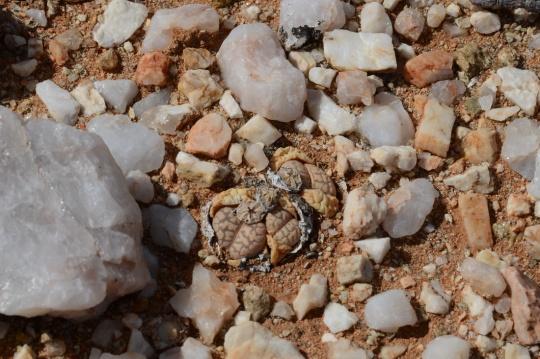 S2698 - C252 - TL Lithops marmorata elisae