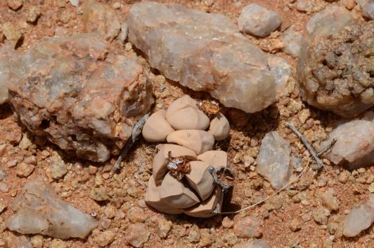 S2706 - Lapidaria margaretae