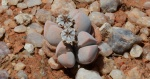 S2711 – Dinteranthus microspermus varpuberulus
