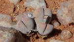 S2712 – Dinteranthus microspermus varpuberulus