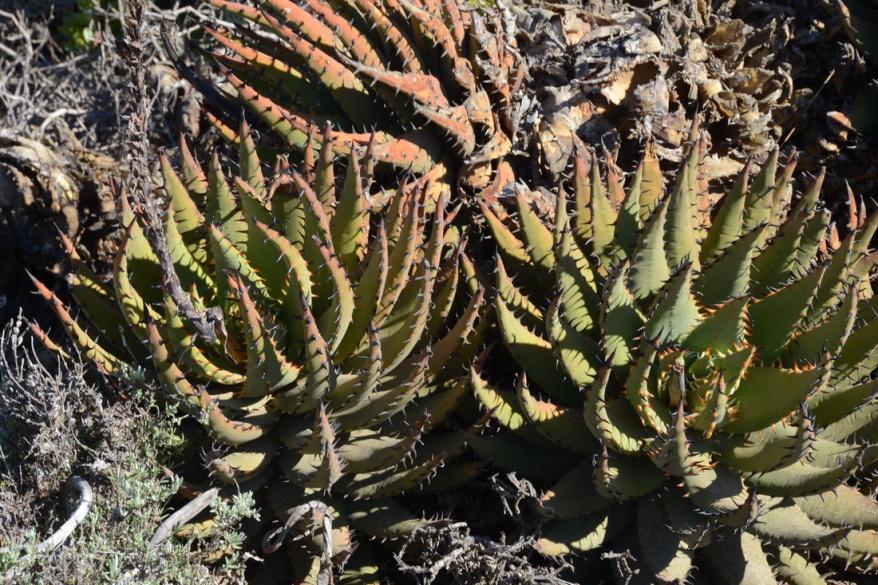 S2722 - Aloe melanacantha