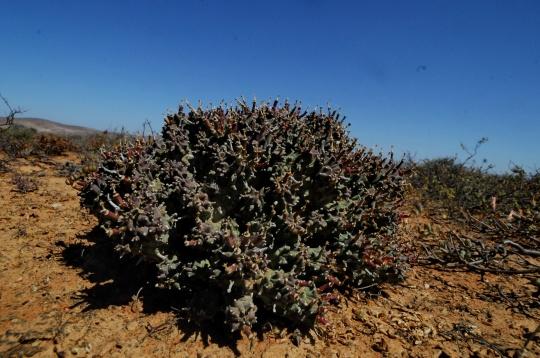 S2730 - Euphorbia pentops