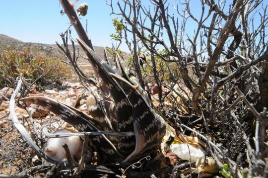 S2732 - Aloe variegata - kanniedood