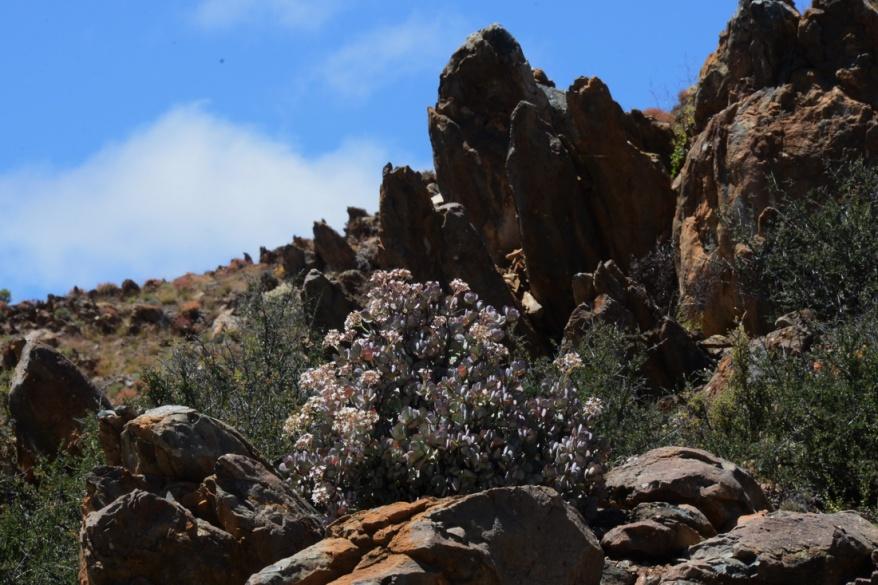 S2746 - Crassula arborescens