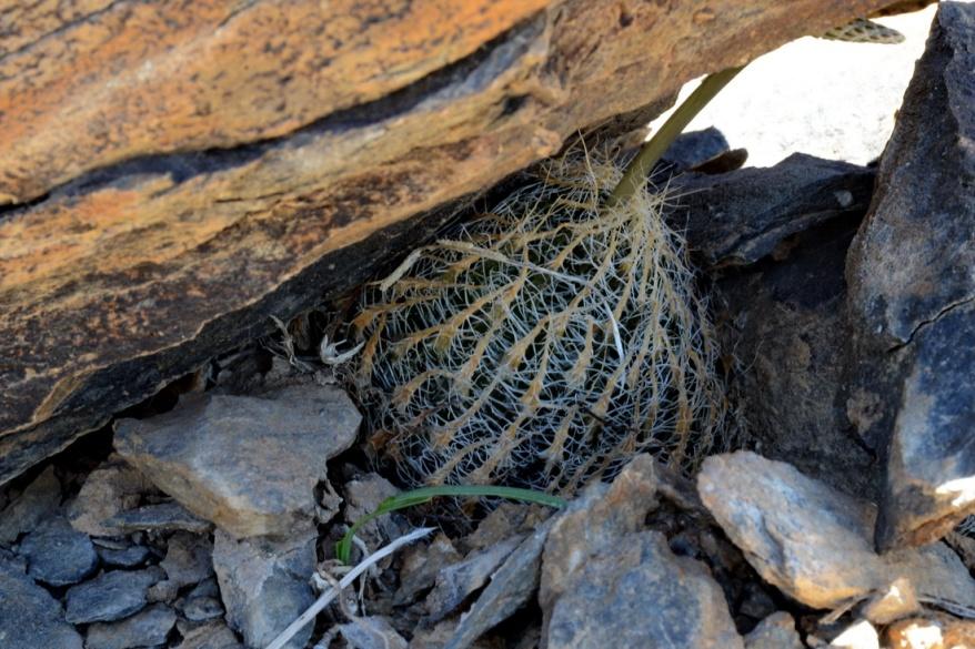 S2747 - Haworthia arachnoidea ssp scabraspina aka Gigas