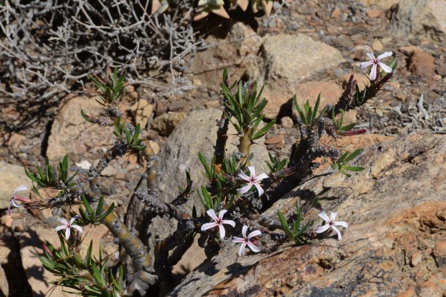 S2749 - Pachypodium succulentum