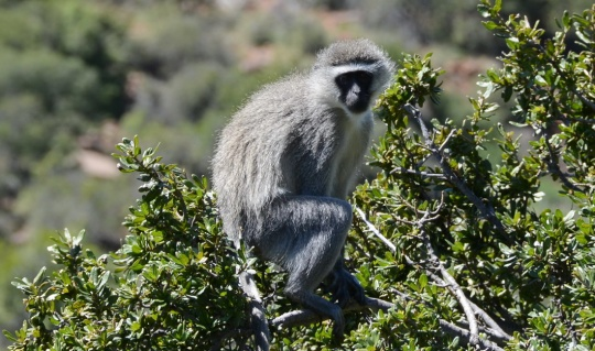 S2764 - vervet monkey