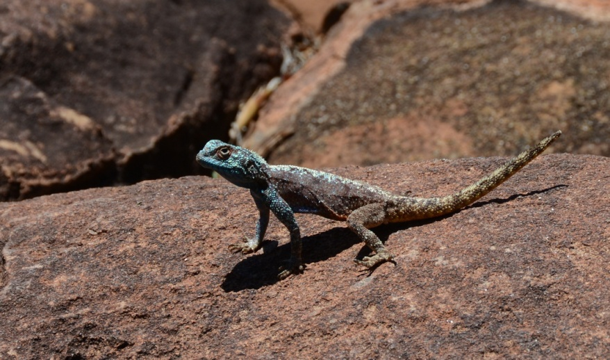 S2765 - East Cape Crag Lizard
