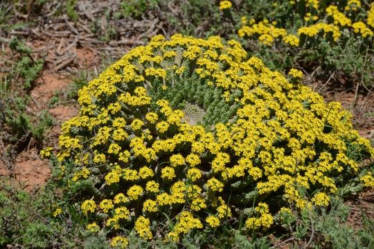 S2773 - Euphorbia inermis ssp huttoniea
