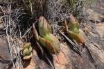S2774 – Crassula perfoliata sspfalcata