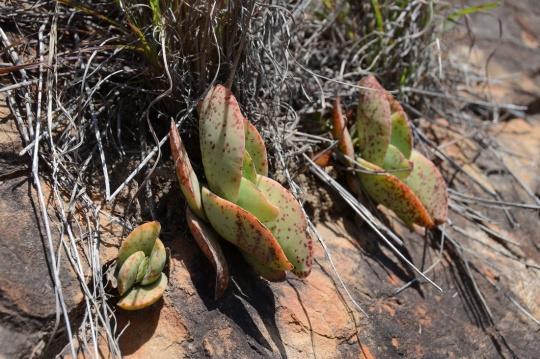 S2774 - Crassula perfoliata ssp falcata