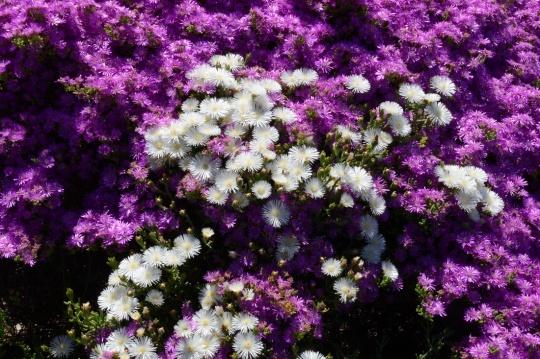 S2785 - Mesembs in flower