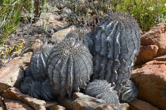 S2787 - Euphorbia horrida