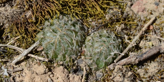 S2790 - Haworthia arachnoidea ssp