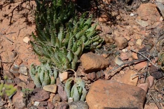 S2791 - Aloe humilis  and Haworthia truncata