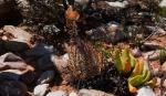 S2804 – Aloe longistyla Glottiphyllumregium