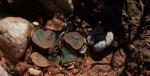 S2804 – Haworthia truncata fa Crassulatecta