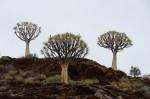 S2582 Aloe dichotoma