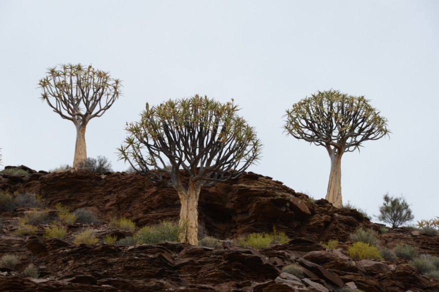 s2582 Aaloe dichotoma in the Kokerboom forest