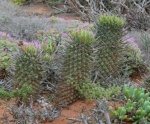 S2584 Euphorbia schoenlandii
