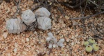 S2593 – Crassula deceptor Avonia papyracea Conophytumsp