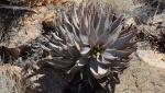 S2594 – Aloeasperifolia