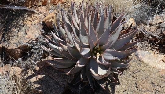 S2594 - Aloe asperifolia