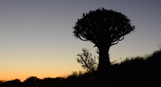 S2604 Aloe dichotoma sunset