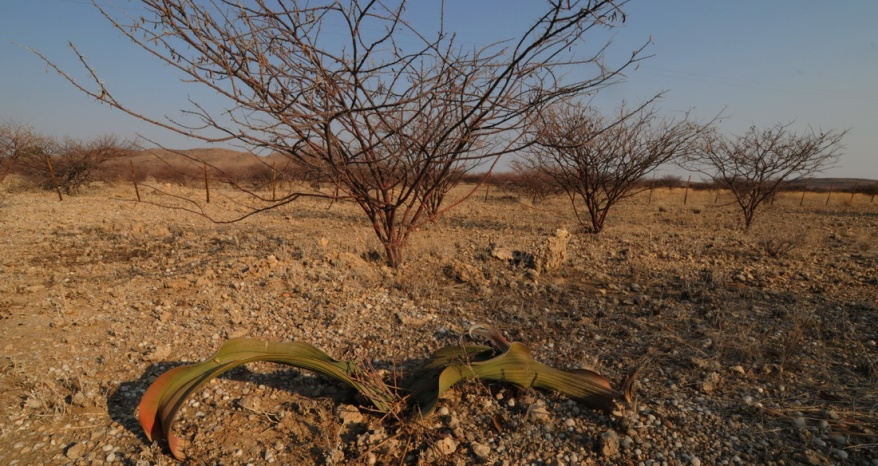 S2624 Welwitschia mirabilis