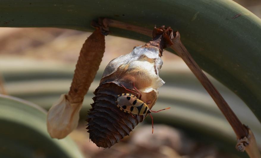 S2626 - Welwitschia mirabilis
