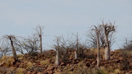 S2631 - Pachypodium lealii ssp lealii 3