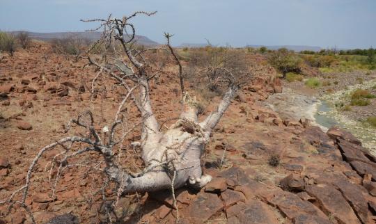 S2631 - Pachypodium lealii ssp lealii