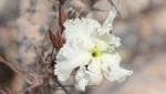 S2631 – Pachypodium lealii ssp lealii6
