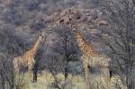 S2633 – Giraffes