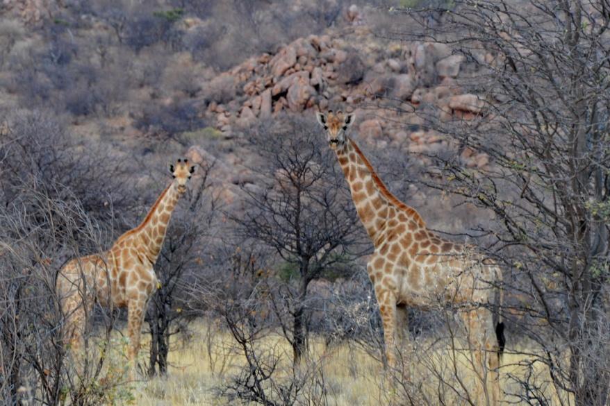 S2633 - Giraffes