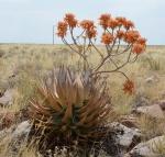 S2637 - Aloe striata karasbergensis